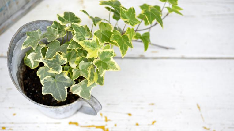 Стайните растения, които пречистват въздуха вкъщи