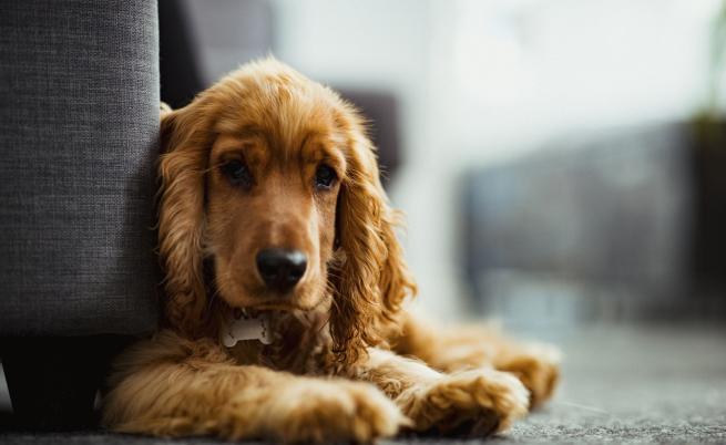 10 породи кучета, подходящи за отглеждане в апартамент