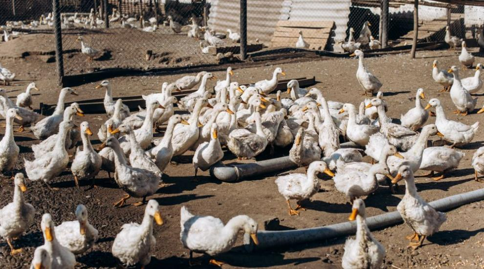 Китай изпраща армия от 100 000 патици на бой срещу нашествие на скакалци