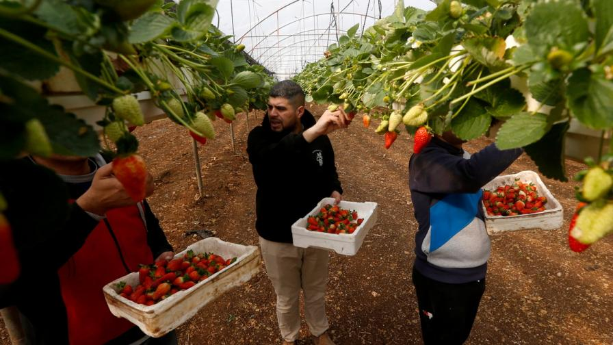 Първите ягоди за сезона