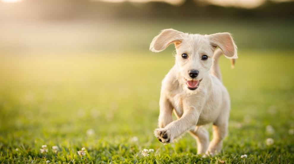 Обучават кучета да откриват COVID-19