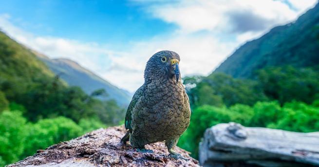 Новозеландските планински папагали Кеа са по-умни, отколкото се предполагаше досега,