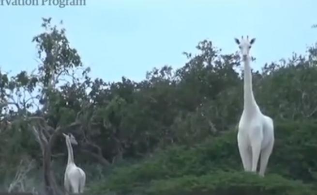 Бракониери убиха уникални бели жирафи в Кения