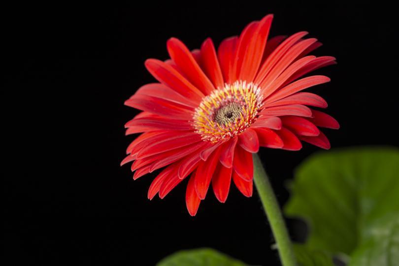 <p><b>Гербер</b></p>  <p>Растението е в списъка на НАСА за най-ефективни растения за борба с мръсния въздух. Ароматът на гербера помага на хората, които имат проблеми със съня, тъй като има успокояващо действие.</p>