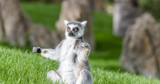 Два котешки лемура близнаци се родиха в зоопарка в британския