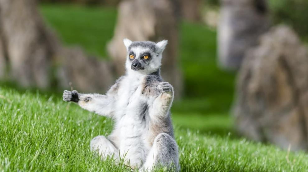 Котешки лемури близнаци се родиха в британски зоопарк