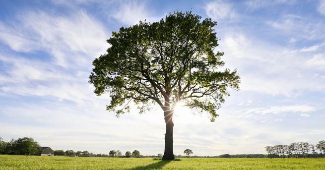 Черният бор, тисът и дъбът са сред дърветата, които пречистват
