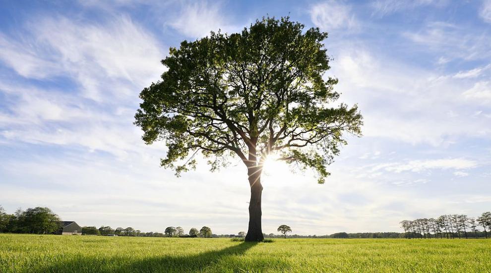 Дърветата, които пречистват най-добре въздуха от...