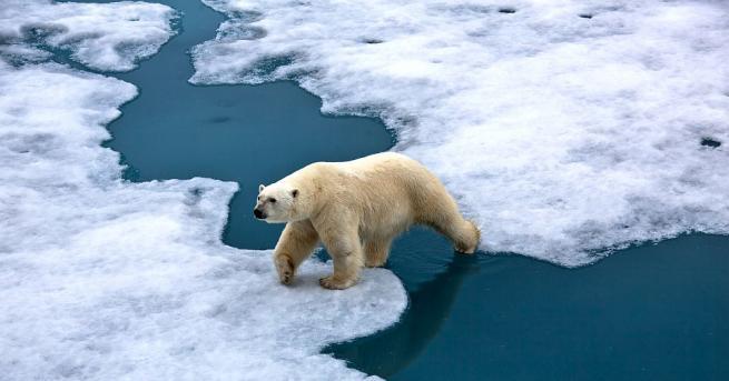 Местни жители в Аляска нарекоха полярен мечок Дебелия Албърт, защото
