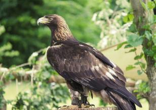 Оцеляването на скалния орел