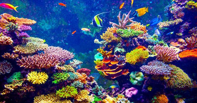Любопитно Защо загивaт кораловите рифове Те са по-малко от 1000