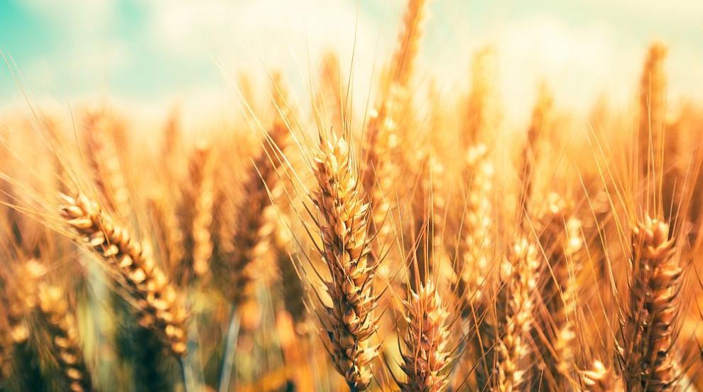 България остава голям нетен износител на зърно,...