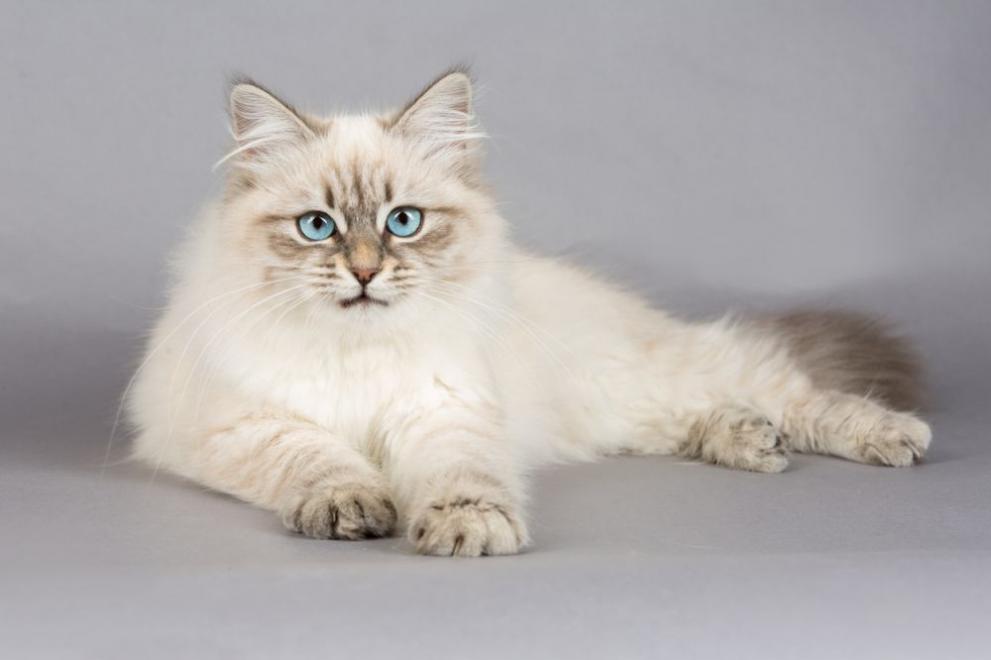 сибирска котка