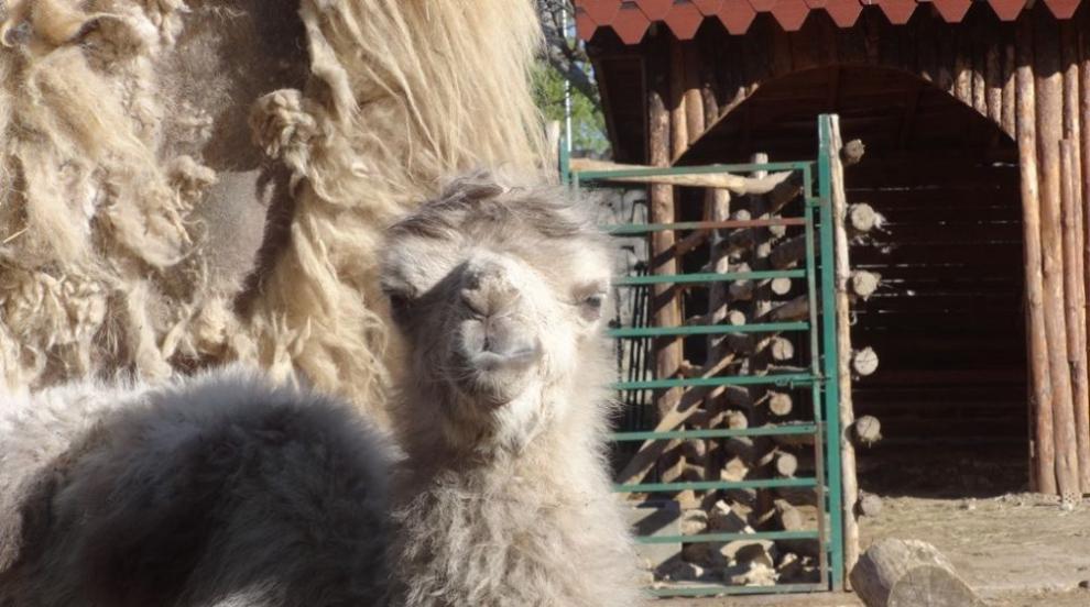 Бяло двугърбо камилче се роди в зоопарка във Варна...