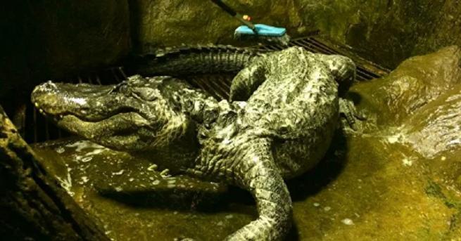 Алигаторът Сатурн от Мисисипи, набеден за любимец на Хитлер, почина