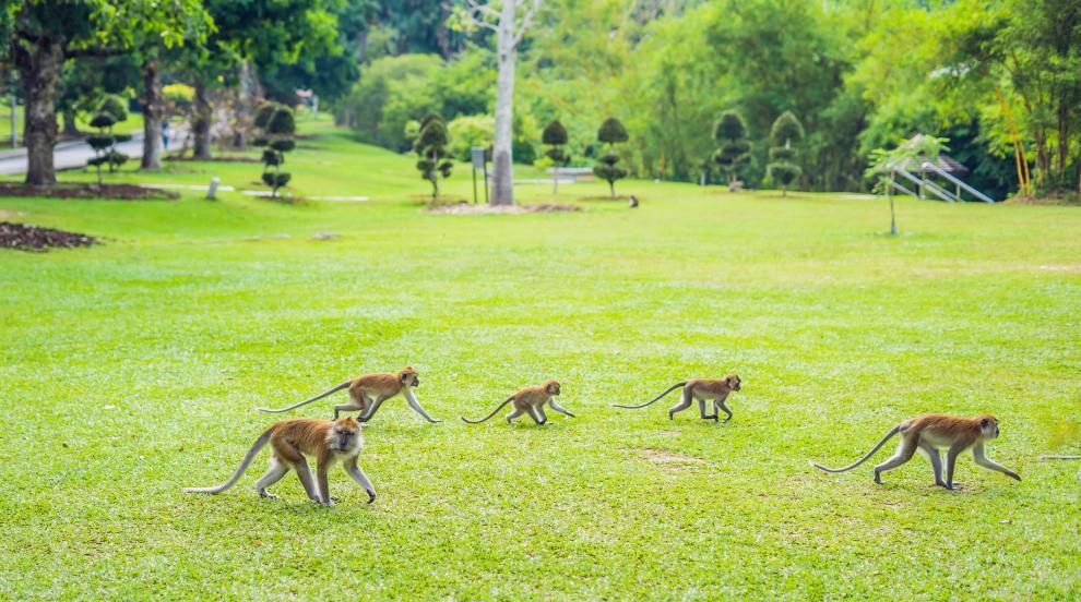 Маймуни свиха кръвни проби с коронавирус в Индия (ВИДЕО)