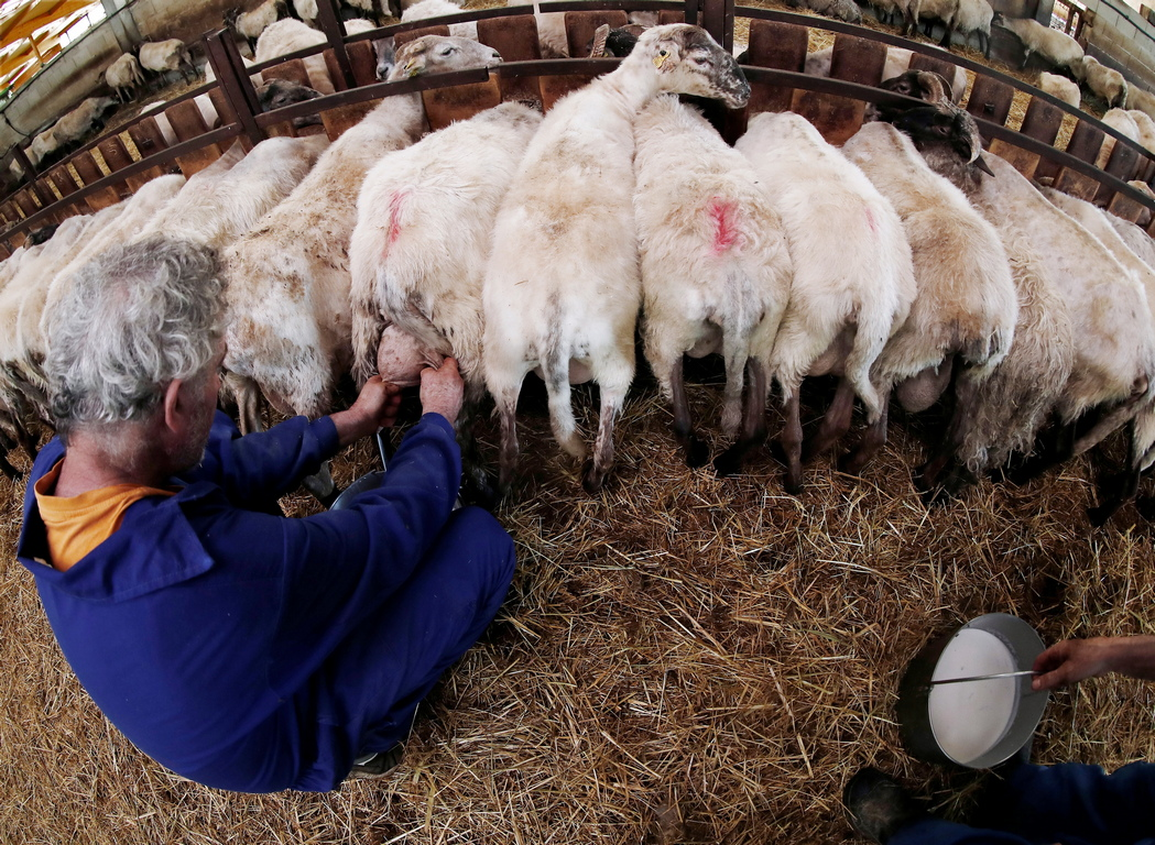 <p>Пастирите в Артаза все още правят ръчно сирене от млякото на ендемичните за региона овце.</p>