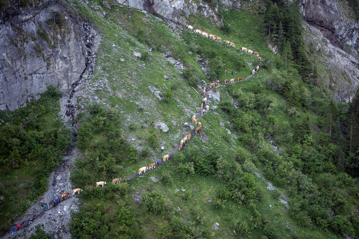 <p>С настъпването на лятото в средата на юни фермерите слагат на животните си огромни тежки звънци и 500 000 швейцарски крави биват подкарани към високите алпийски пасища.</p>