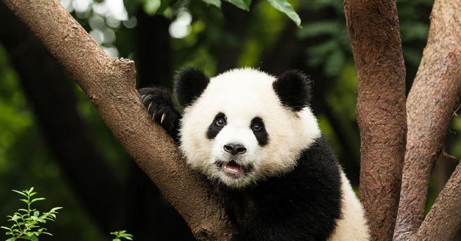 В зоологическата градина на тайванската столица Тайпе голяма панда, подарена