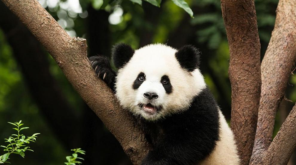 Пандата Юан Юан роди второ малко в зоологическата...