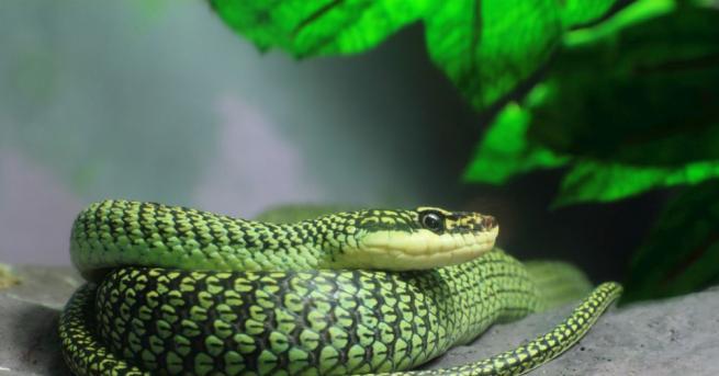 Добре известно е, че райската летяща змия Chrysopelea paradisi не