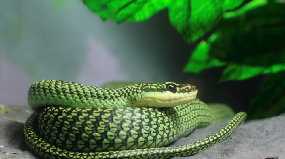 Учени установиха как летят някои змии (ВИДЕО/СНИМКИ)