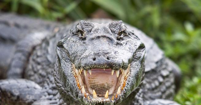 Странно същество, наподобяващо алигатор, е било открито на брега на