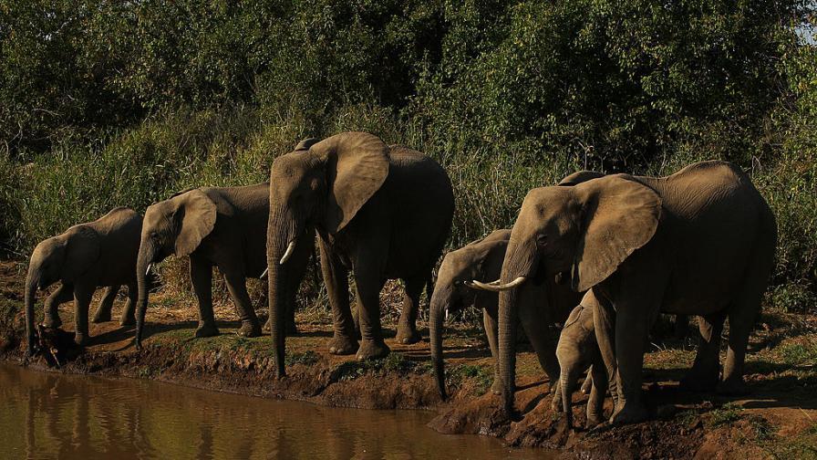 Мистерия: Стотици слонове са открити мъртви в Ботсвана