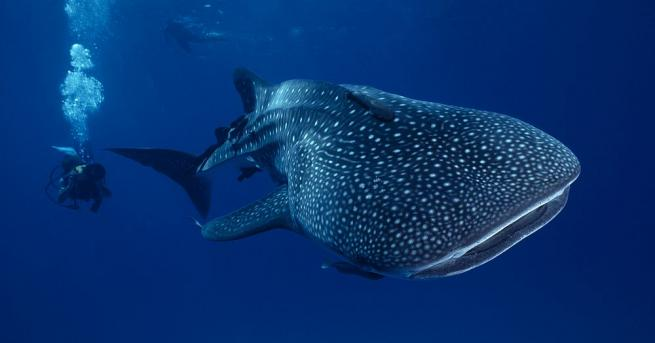 Японски морски биолози установиха, че най-големите акули на Земята, китовите,