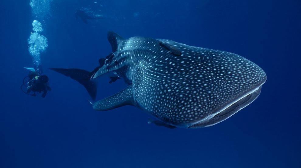 Китовите акули имат бронирани очи с комплект от 3000 зъбчета (СНИМКИ)