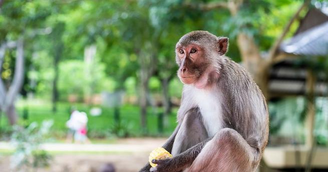 Маймуни, заразени с новия коронавирус, отговорен за пандемията COVID-19, са