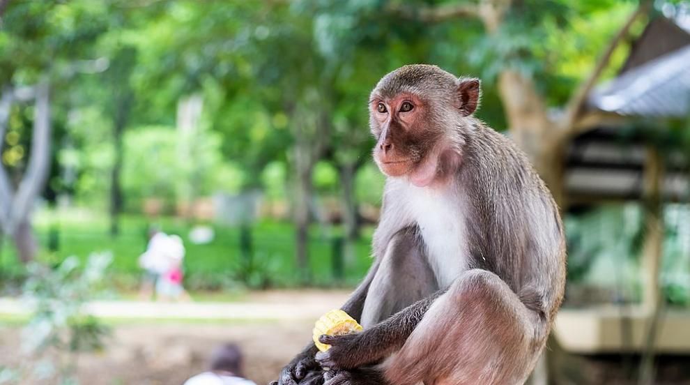 Маймуни, заразени с коронавируса имат краткосрочен...