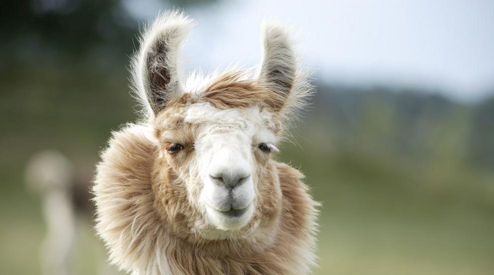 Белгийската лама Уинтър може да спаси човечеството...