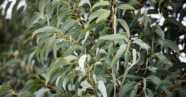 Министерството на земеделието на Индонезия представи огърлица от евкалиптови листа,