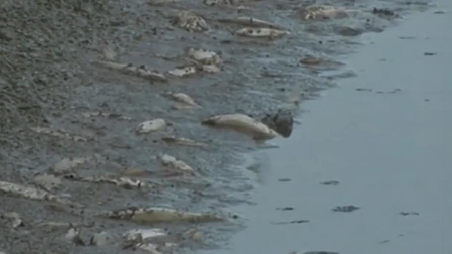 Масово измиране на риба в Янтра, има ли виновен