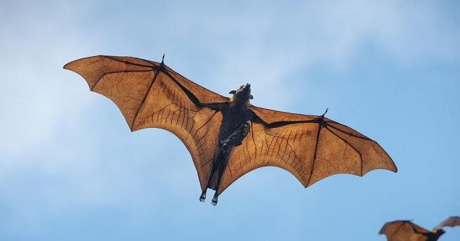 Огромна летяща лисица с размах на крилете от 1,7 метра