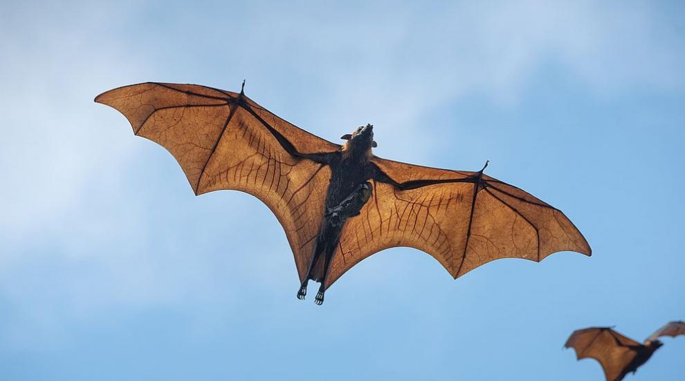Огромна летяща лисица с размах на крилете 1,7 метра...