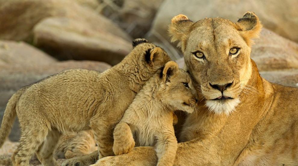 Зоологическата градина в Рим показа двете лъвчета,...
