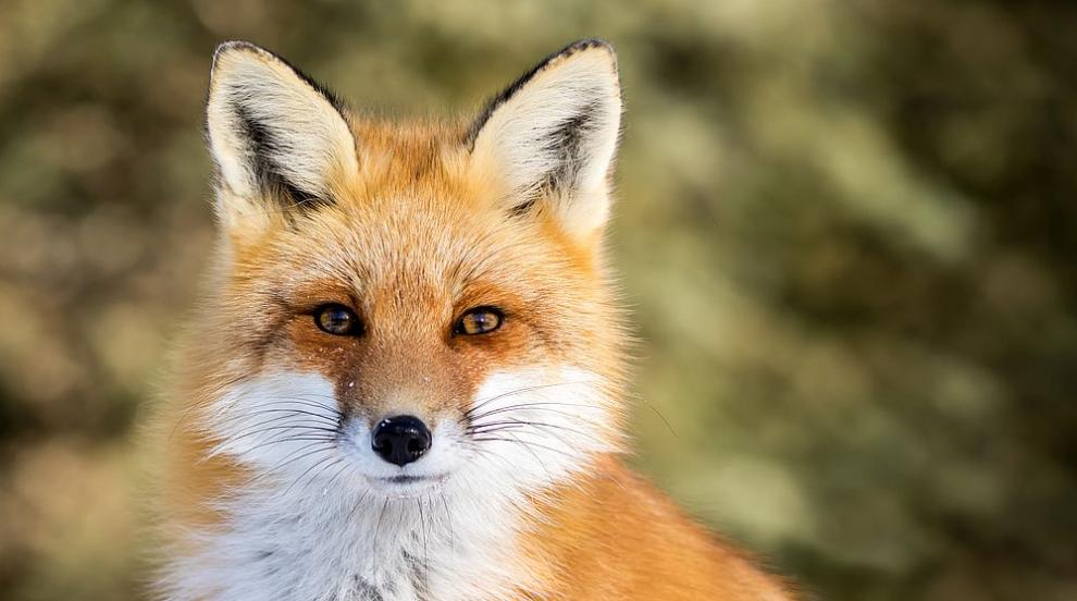 Дива лисица от Берлин е звезда в Инстаграм (СНИМКИ)