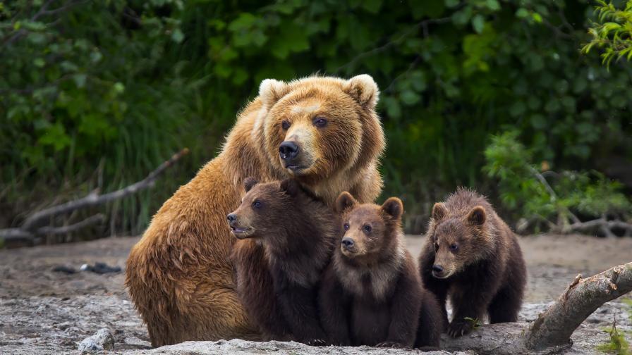 """Необичайна услуга: Зоопарк във Финландия предлага """"нощувка с мечки"""""""