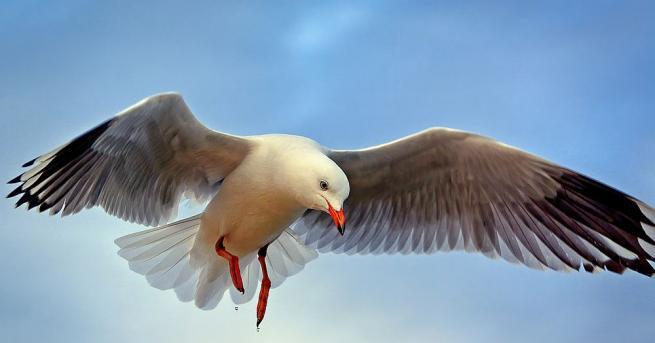 Крадлива чайка си е спечелила прозвището Бъгси - на именития