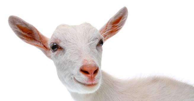 Полицията в индийския град Канпур, щата Утар Прадеш, арестува коза