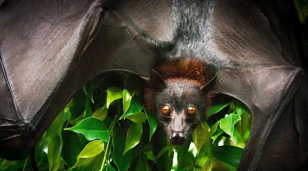Прилепите носят коронавируси от десетилетия (СНИМКИ)