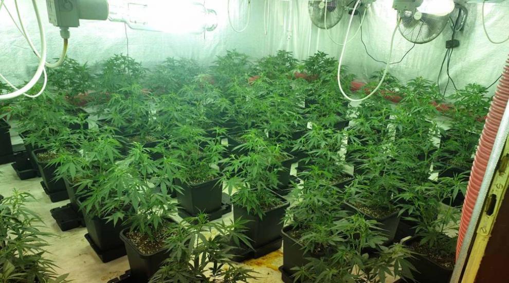 Откриха 73 канабисови растения в имота на 68-годишен...