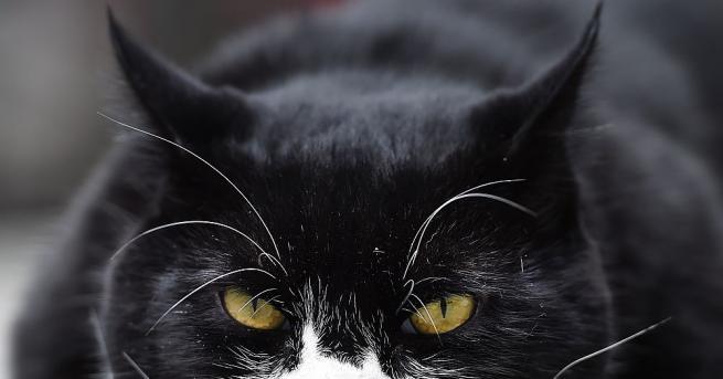 Главният ловец на мишки на британското външно министерство, котката Палмерстън,