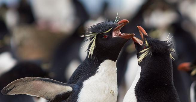 Еднополовата двойка пингвини Електра и Виола в океанографския аквариум във