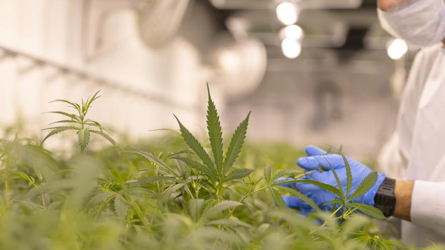 Разкриха лаборатория за производство на марихуана в Перник