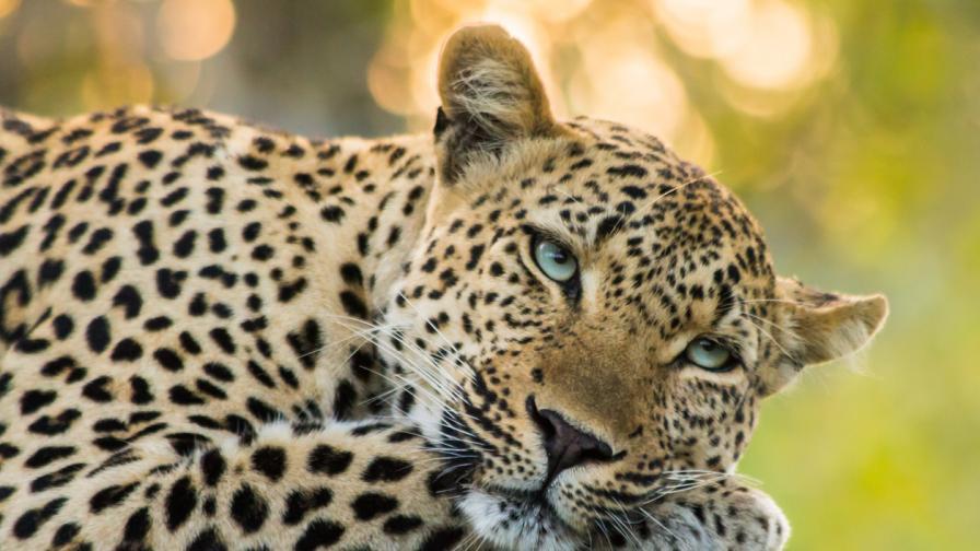 Леопард се разходи из ресторанта на луксозен хотел (ВИДЕО)