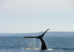 70 кита заседнаха на бреговете на Тасмания