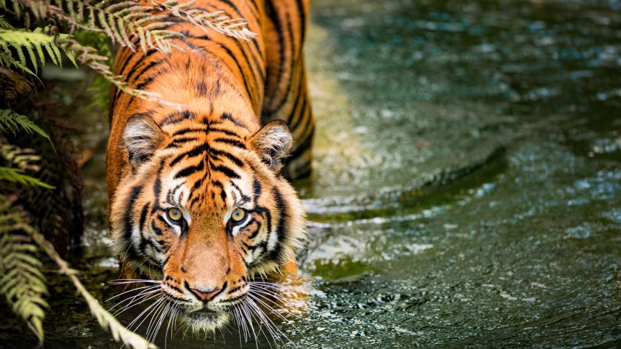 Любопитни факти за тигрите, които ще ви...